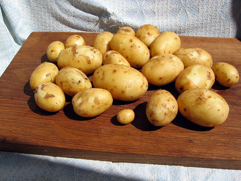 Картошка для ловли карпа