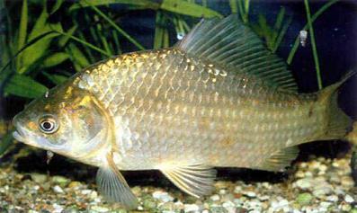 Виды рыб, обитающие в нашем районе